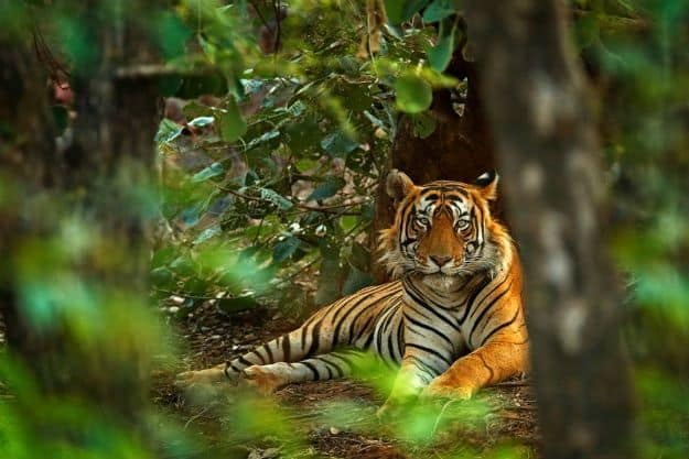 Ranthambore tiger 3