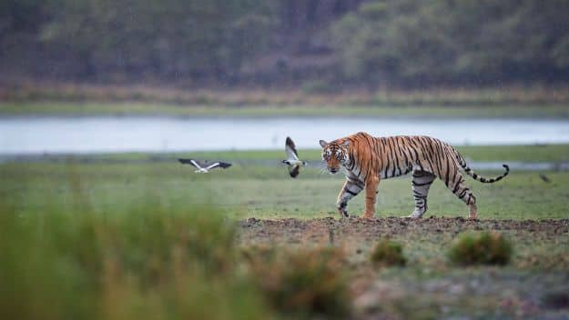 Ranthambore tiger 4