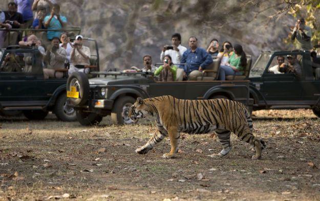 Ranthambore tiger 5