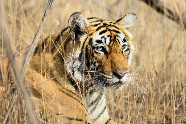Ranthambore tiger 7