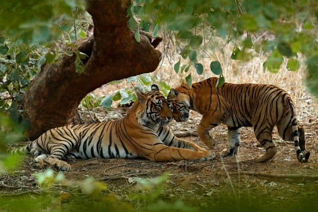 Ranthambore tiger 9