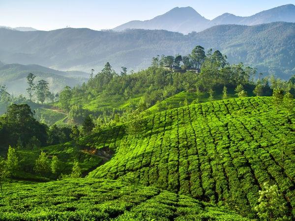 Vast stretches of tea plantations in Munnar - Munnar ...