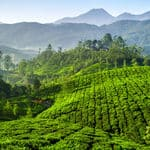Vast stretches of tea plantations in Munnar - Munnar - Kerala