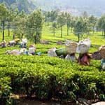 Workers in Munnar Tea Plantations - Munnar - Kerala