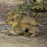 Lion Safari - Thiruvananthapuram - Kerala