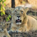 Lion with a cub - Thiruvananthapuram - Kerala