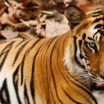 A royal Bengal tiger in Bandhavgarh - Bandhavgarh - Madhya-Pradesh