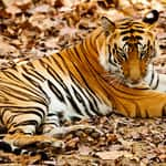 A tiger rests in the Bandhavgarh National park in Madhya Pradesh India - Bandhavgarh - Madhya-Pradesh