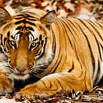 A tiger in the Bandhavgarh national park - Bandhavgarh - Madhya-Pradesh