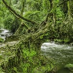 Living root bridges in Meghalaya - Living-Root-Bridges - Meghalaya