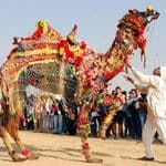 Camel decorated for the festival - Bikaner - Rajasthan