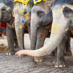 Elephants decked up for elephant festival - Jaipur - Rajasthan
