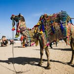 A Camel in the Pushkar camel fair - Pushkar - Rajasthan