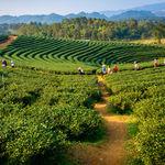 Plantations at Darjeeling - Darjeeling - West-Bengal