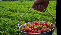 Berry farms in Mahabaleshwar