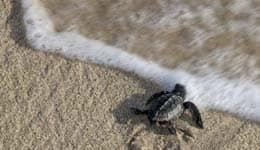A group of endangered turtles begin settling at Odisha beaches