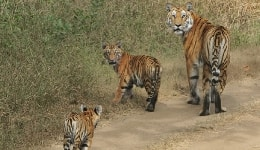 Pench National Park wildlife safari: Here are 5 reasons why you must visit Pench Tiger Reserve this summer