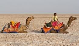 Camel Safari in Rann of Kutch