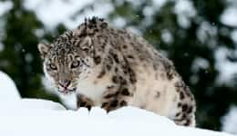 A group of skiers spotted a snow leopard in Gulmarg and what happened next will surprise you!
