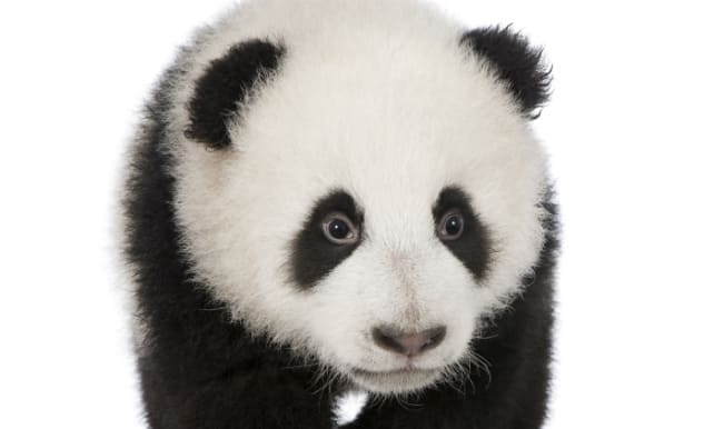 Naughty baby panda tries to escape from crib