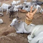 Former Bihar Chief Minister Rabri Devi is owner of 62 cows and 42 calves!