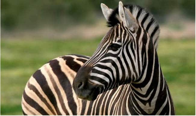 Why do Zebras have black and white stripes? Find out here!