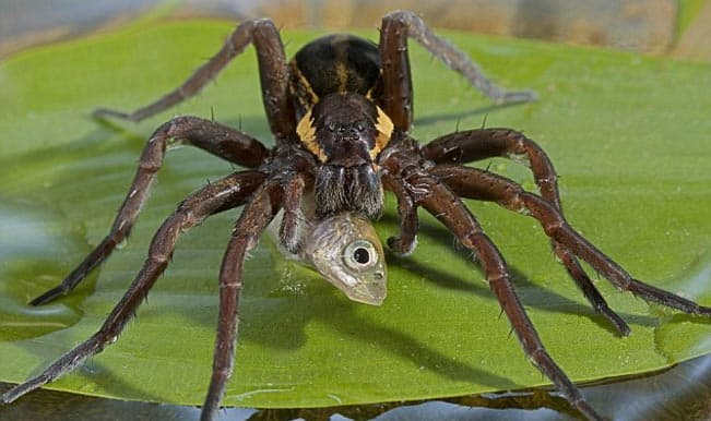 Fish-eating spiders discovered worldwide