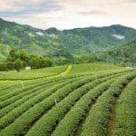 Militants attack Small Tea Growers in Assam