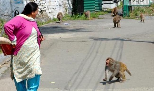 After white tiger, monkeys kill woman in Shimla, bite girl