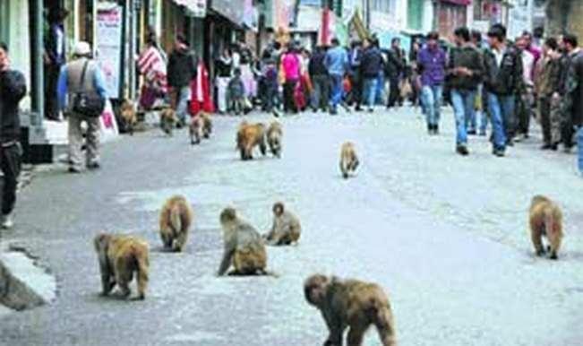 Monkey menace: Lift ban on monkey export for bio-medical research