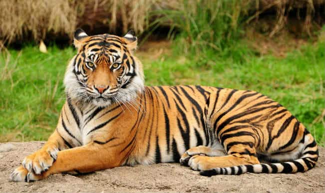 2 tigers found dead in Sundarbans Tiger Reserve