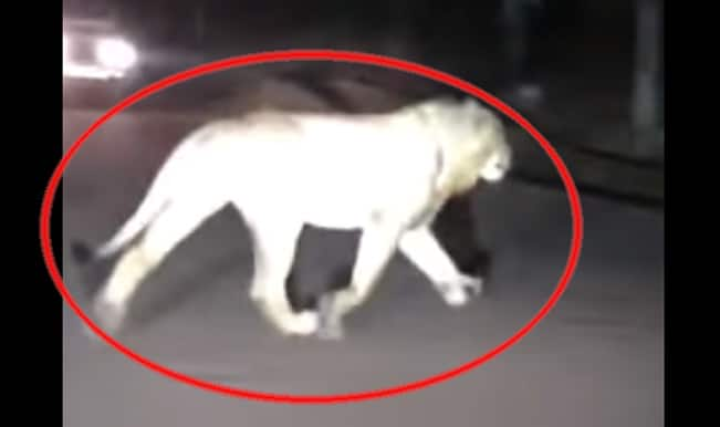 Lion Spotted at Ghodbunder Road in Thane: Watch Full Video to know if it's True or False