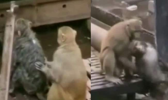 Monkey saves a fellow monkey after being hit by 25,000 Watt electric shock! (Watch video)