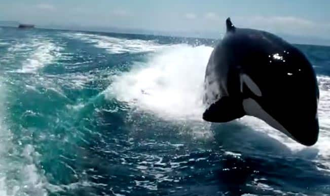 Race between speedboat and Orca Whales: Watch video