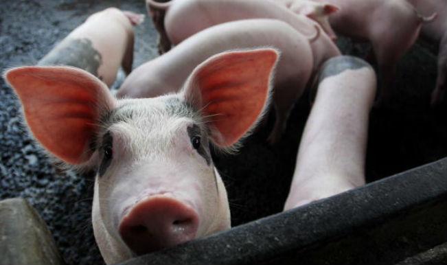 essay on swine flu in india Swine flu sees spike in maharashtra congress wants ballot papers in future polls, plans the first swine flu death in india.
