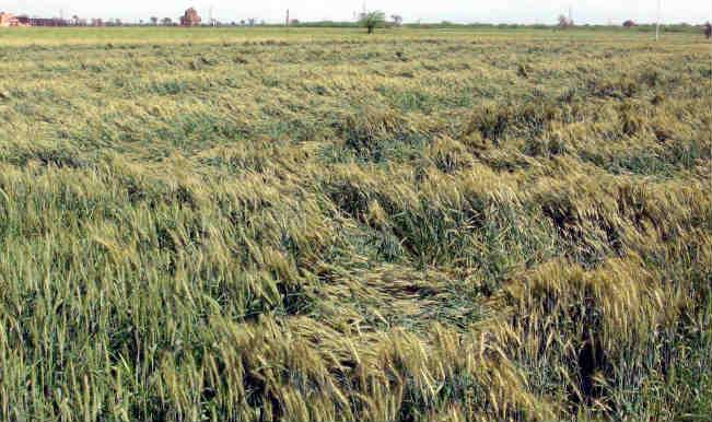 Unseasonal rains damage crops, kill 14 in North India