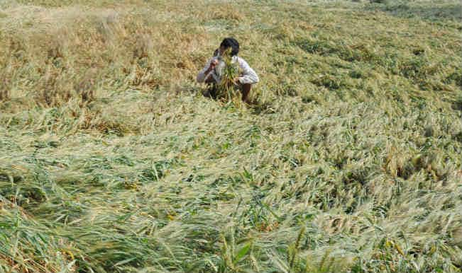 Vidarbha crop crisis: Unseasonal rains and hailstorm destroy 50,000 hectares of crops; 1,00,000 farmers affected