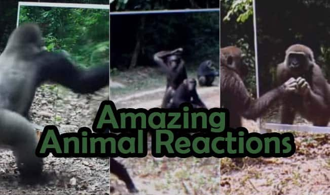 Wild Animals Watch Themselves In Mirror For First Time: Their Reactions Will Leave You Delighted! (Video)