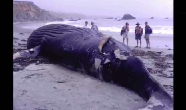 42-ft-long blue whale washed ashore in Alibaug, dies
