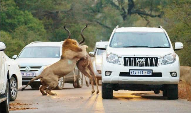 SHOCKING! Lions attack and eat antelope inches away from tourists