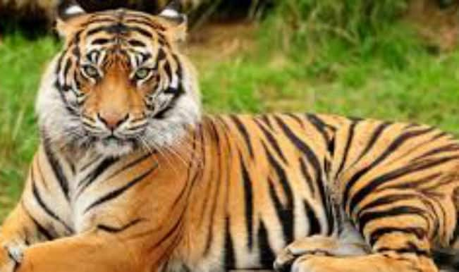 Y Tiger Is Our National Animal International Tiger Da...