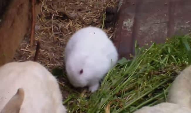 Fukushima radiation effect: Mutant bunny born near nuclear plant (Watch Video)
