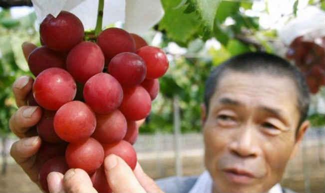 दुनिया के सबसे महंगे अंगूर, एक गुच्छे की कीमत 5 लाख से भी जादा