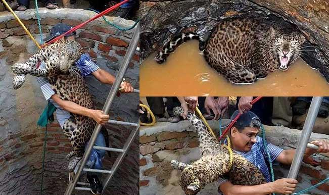 एक आदमी का कारनामा: कुएं में गिरे तेंदुए को जानपर खेलकर जिंदा बचाया , वजह जानकर हो जायेंगे हैरान