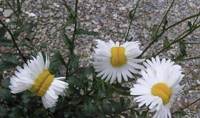Fukushima radiation effect explained: Mutant daisy flower grows near nuclear plant; pictures go viral