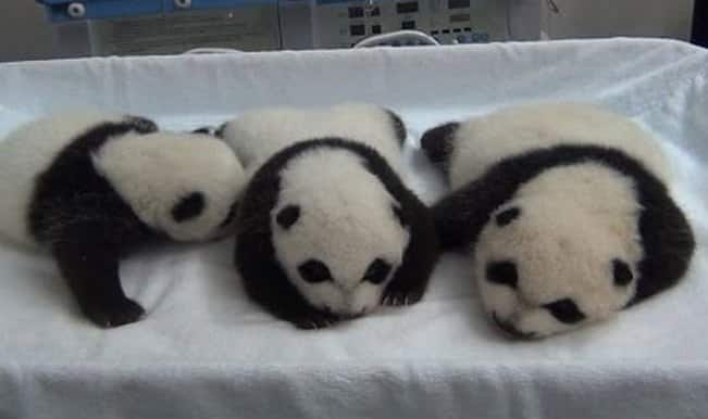 Aww! Miracle panda triplets open their eyes for the first time! (Watch video)