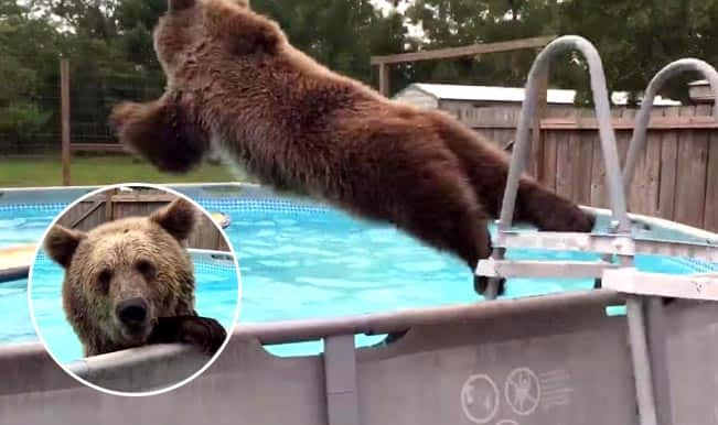Video of Bruiser Bear in swimming pool will leave you with a big smile