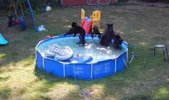 Watch family of bears partying in backyard swimming pool for Bears in swimming pool new jersey
