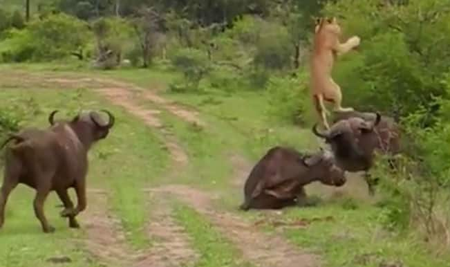 Unbelievable! Buffalo tosses lion into the air, watch video