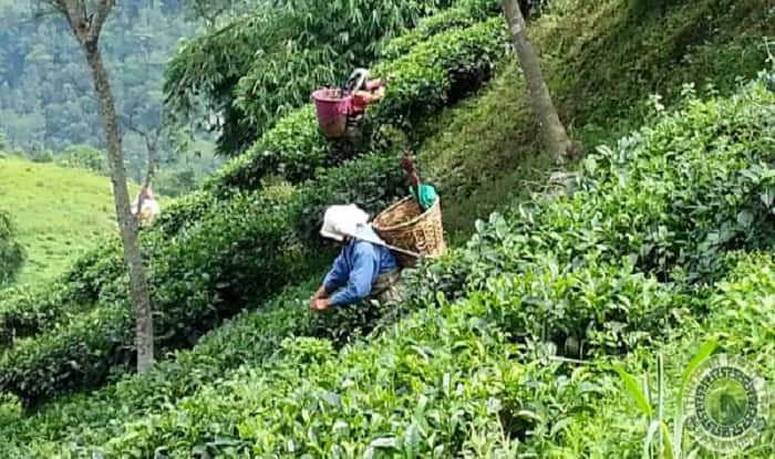 Dooars India  City new picture : ... Dooars and Darjeeling,new areas in Bengal to produce tea India.com